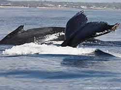 Whale watching in Mozambique