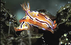 Nudibranch is a marine gastropod having no shell but a beautifully coloured body with external gills